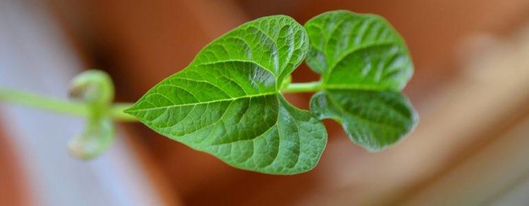 Jak rośnie fasolka? Warsztaty  w Cafe Bergson
