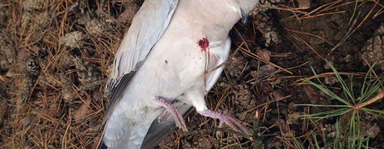 Ktoś strzela do ptaków w Brzezince