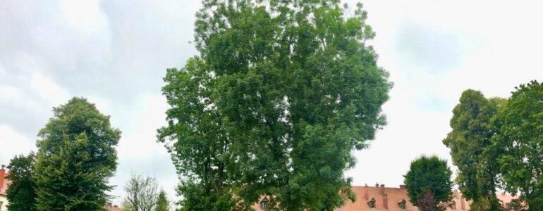 Drzewa po Niemcach w Oświęcimiu – FOTO
