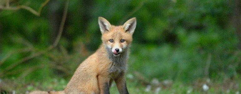 Szczepienie lisów. Uwaga na zwierzęta domowe
