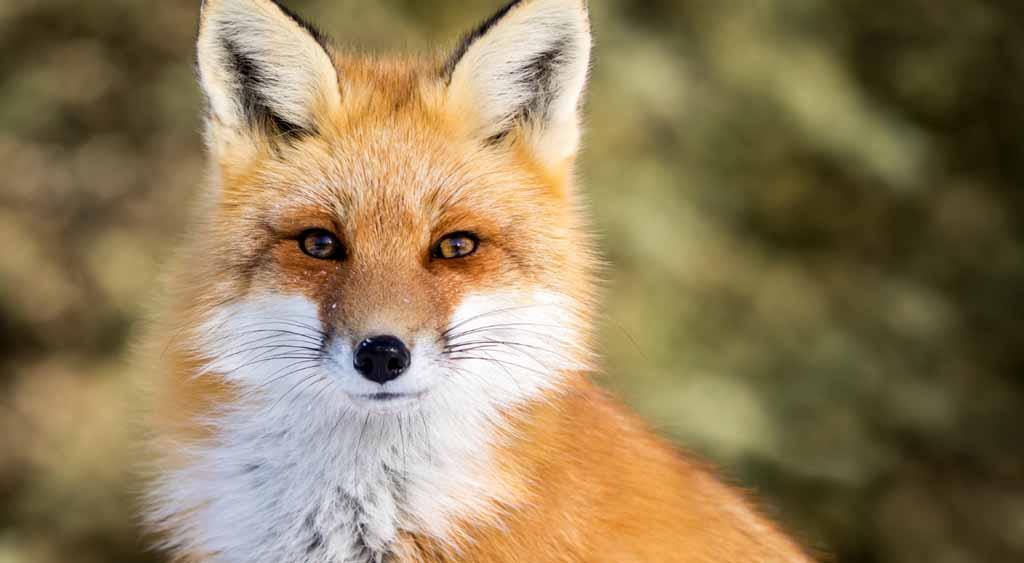 W najbliższy piątek w Małopolsce rozpocznie się akcja szczepienia lisów. Wojewódzki lekarz weterynarii zaleca, by nie wypuszczać wolno zwierząt domowych.